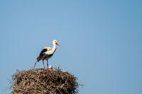 The speech of the white stork