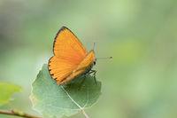 Male Scarce Copper, Lycaena virgaureae, Dukaten-Feuerfalter