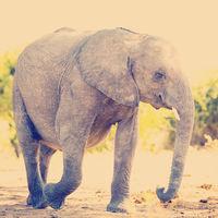 Elephant Baby Calf In Wild
