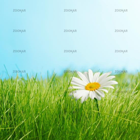 One daisy on green feild