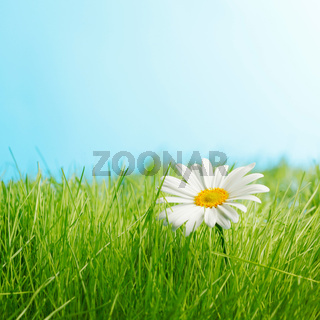 One daisy on green feild