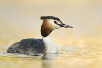 Great Crested Grebe * Podiceps cristatus * in golden light