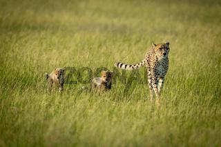 Female cheetah and two cubs cross savannah