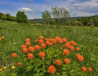 Orange wild flowers Trollius asiaticus on meadow - spring rural landscape