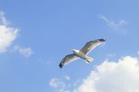 flying sea-gull on sky