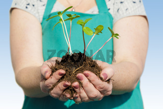 Woman planting small green plants with her hands