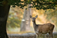 Female red deer standing under a tree, beautiful light in the background
