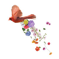 Northern Cardinal Flying with flowers ,watercolor painting on white background