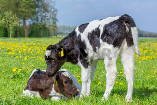 Two newborn calves together in dutch meadow