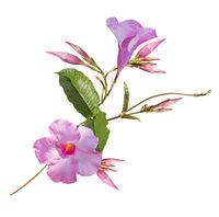 Pink Dipladenia flowers on white background