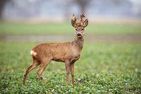 Roe deer, capreolus capreolus, buck with big antlers covered in velvet.