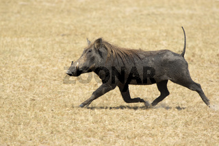 COMMON WARTHOG that runs through the dry African savannah raising its tail