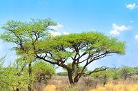 Scrubland with acacia Namibia