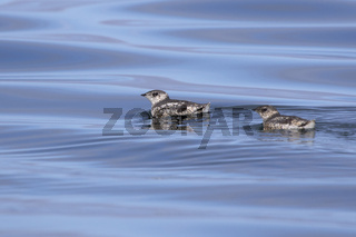 two kittlitz's murrelet that are floating on the water on a summer day