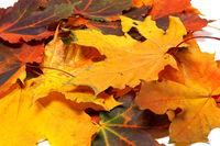 Pile of autumn maple leaves