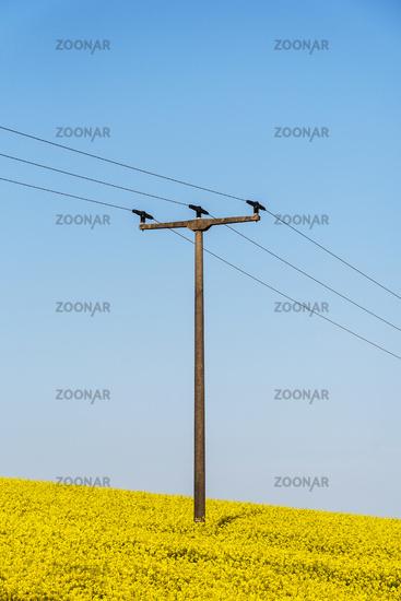 power pole, rape field, Kuehlungsborn, Mecklenburg-Western Pomerania, Germany, Europe