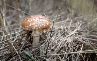 Poisonous mushroom fly agaric in a forest clearing.