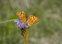 Comma butterfly  'Polygonia c-album' and  Silver-washed fritillary 'Argynnis paphia'