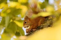 Red Squirrel in a walnuttree