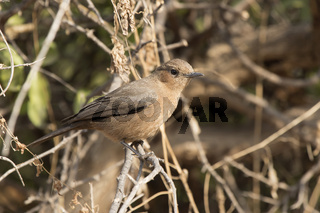 Brown rock chat that sits on a branch at the edge of the forest
