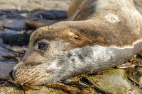California Sea Lion Headshot