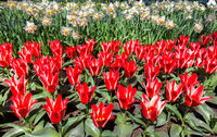 Field of flowers with red tulips and  daffodils