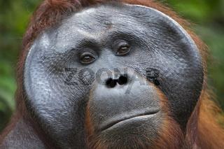 Close-up of male Orangutan in Borneo from Indonesia