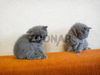 Cats - British, Russian or Shotlad blue breed. Very cute and touching little gray fluffy kittens