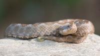 Female Viper