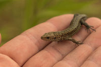 Viviparous lizard sitting on a hand