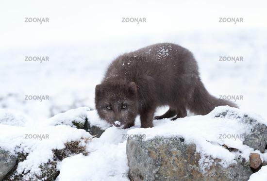 Arctic fox, Norway