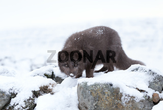 Blue morph arctic fox in winter