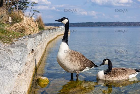 canadian geese at Tutzing Starnberg lake Germany
