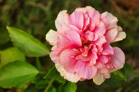 Hibiscus mutabilis, known as the Confederate rose noted for showy large flowers