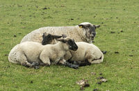 Blackface sheep with two lambs, Schleswig-Holstein, Germany