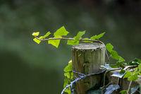 Efeu klettert an einem Holzpfahl