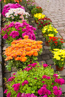 Variety of chrysanthemums on the flower market outdoors