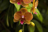 Moth orchid, Phalaenopsis amabilis, Jurong Bird Park, Singapore.