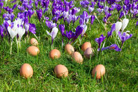 Loose eggs on grass with blooming crocuses