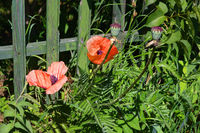 Red poppy in the grass