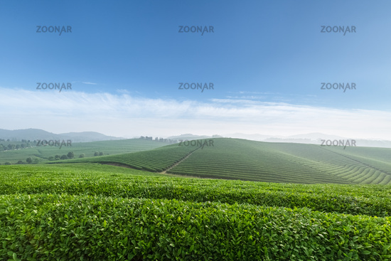 tea plantation in spring morning