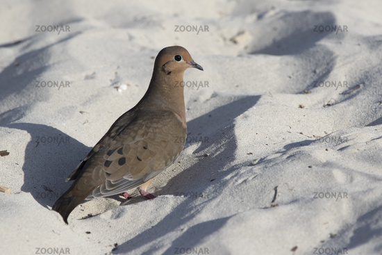 mourning dove that feeds on a sandy beach by the ocean