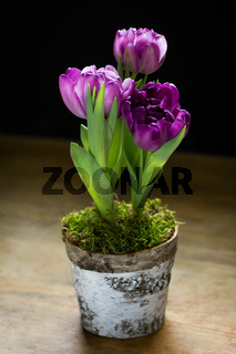 Purple potted tulips isolated on white background.