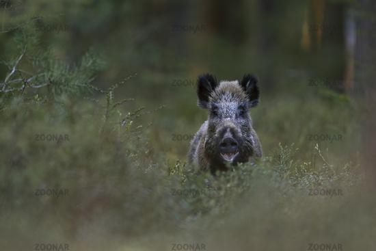 Wild Boar * Sus scrofa * in the woods, frontal shot, looks funny