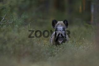 Überraschung... Wildschwein * Sus scrofa * im Wald