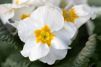 Blooming white flower primula