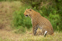 Leopard sits on grass bank looking left
