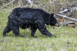 Wet black bear walking in grass.