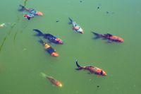 190602-14 Gartenteich Fische Kaulquappen Algen.jpg