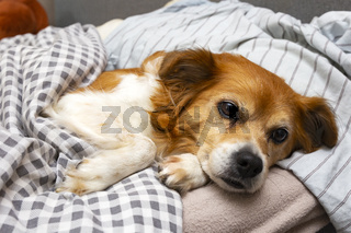 Cute little dog lying on a pillow in bed under the covers, ready for sleeping
